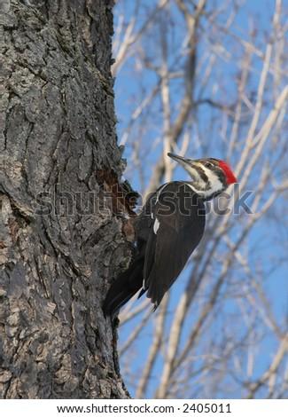Male Pileated Woodpecker near hole - stock photo