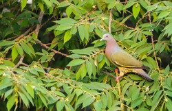 Male Pink-necked Green Pigeon(Treron vernans) on tree in Thailand