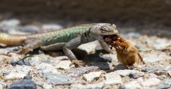Male Platysaurus lizard eating a large brown hairy insect.