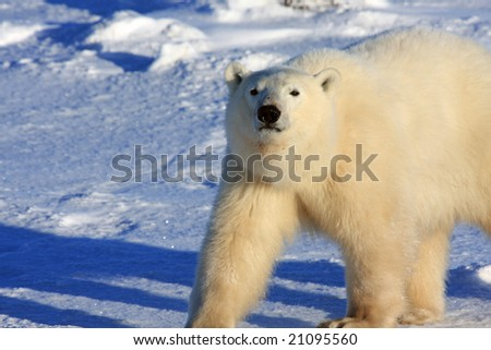Male polar bear strutting on the snow in the arctic