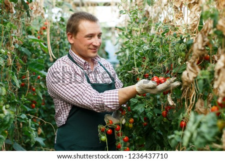 Male  professional horticulturist  looking  harvest of  tomatoes  in  hothouse indoor #1236437710