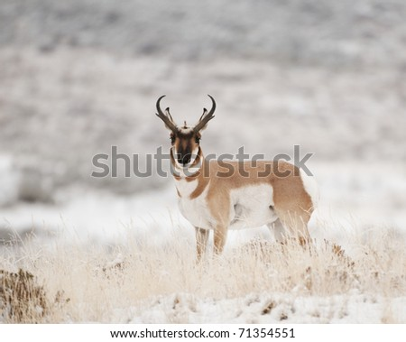 Male Pronghorn in grass and snow