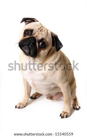 Male Pug cocking his head and isolated on white background.