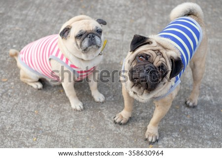 Male Pug dog wearing a striped blue and yellow standing front female Pug on the road .