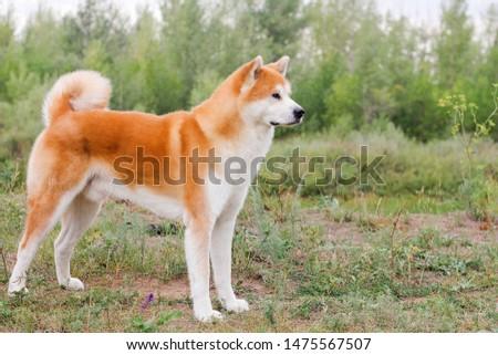 Male purebred Japanese dog Akita inu, walk in the nature #1475567507