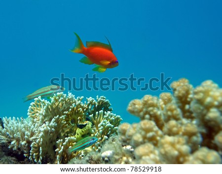 Male Red Coral Perch at the coral reef