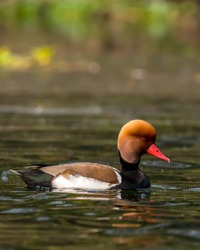 Male Red crested pochard. This photograph can be easily used for any magazine cover or mobile screen saver.