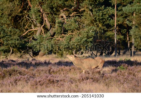 Male red deer (Cervus elaphus) with antlers in the forest with heather during the rutting season in national park Hoge Veluwe in the Netherlands.