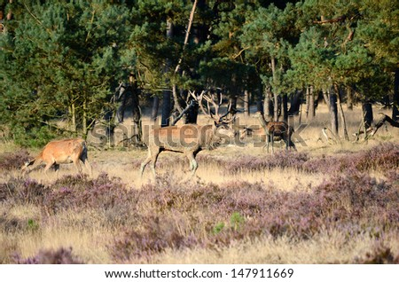 Male red deer (Cervus elaphus) with his females (hinds) in the forest during the rut in national park Hoge Veluwe in the Netherlands.