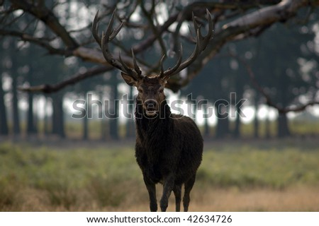 Male red deer in standoff
