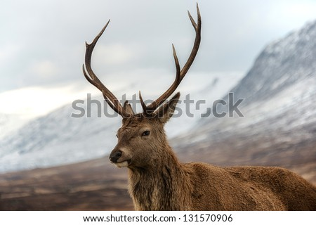 Male red deer posing for camera. Scottish highlands scenery on background.