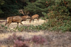 Male red deer with doe in the Hoge Veluwe National Park during the rutting season, the Netherlands