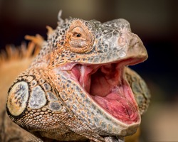 Male red iguana with mouth wide open