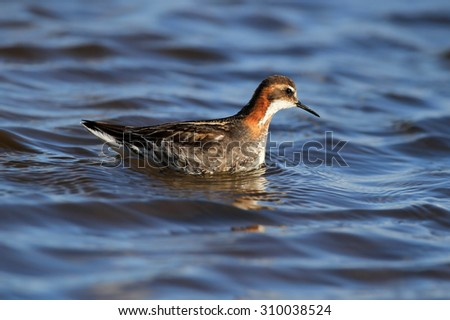 Male Red-necked Phalarope (Phalaropus lobatus). Swimming on blue sky reflected water. Feeding on insects on the waters edge. Image taken in Scotland. Photo stock ©