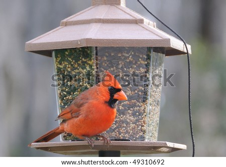 Male Red Northern Cardinal at the Bird Feeder