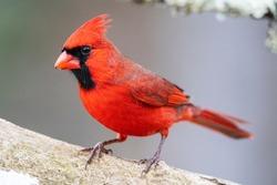 Male red northern cardinal in Michigan.