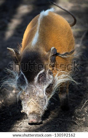 male red river hog in bands of shadow and light/Red River Hog