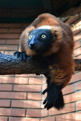 Male red ruffed lemur on a branch in the enclosure at the zoo, lemur from madagascar