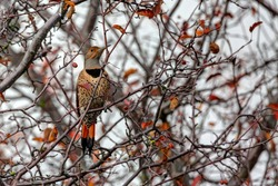 Male Red Shafted Northern Flicker perches on an autumn tree branch
