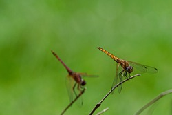 Male red-veined dropwing dragonfly (Trithemis arteriosa) perched on a bare twig. Entebbe, Uganda
