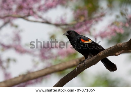 male red-wing blackbird perched on a branch; background consist of the soft springtime pastel pinks of redbud trees, green leaves, brown branches and soft sky blues.