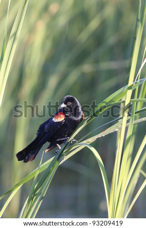 Male red winged black bird perched in cat tails