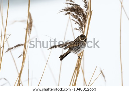 Male Reed Bunting on a reed stem with a white background #1040012653