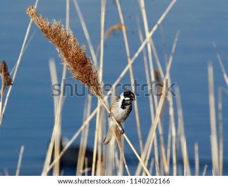 Male reed bunting on reed #1140202166