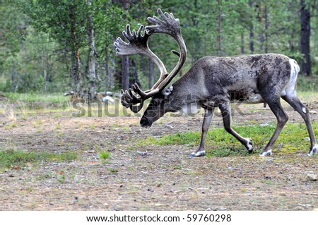 Male reindeer with exceptionally long antlers walking in natural habitat in a forest in Lapland, Scandinavia