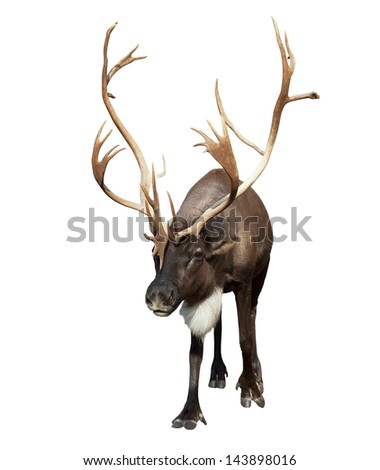 male reindeer with large horns. Isolated over white background