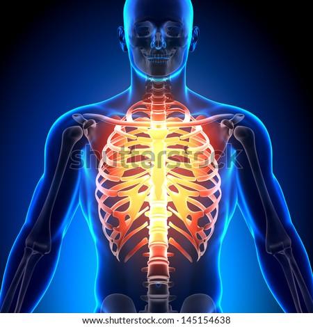 Male Rib Cage Anatomy Bones Ez Canvas