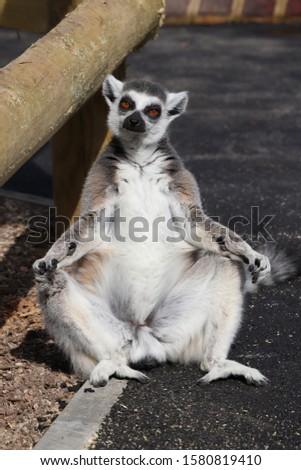 Male Ring-Tailed Lemur (Lemur catta)