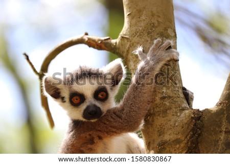 Male Ring-Tailed Lemur, Loki (Lemur catta)