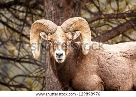 Stock Photo Male Rocky Mountain Bighorn Sheep Ram standing in snow flurries in front of tree face forward