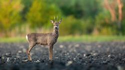 Male roe deer, capreolus capreolus, buck standing on a muddy field in spring nature. Animal wildlife on farmland from low angle view with copy space. Mammal with brown fur facing camera.
