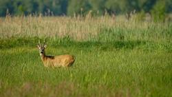 Male Roe Deer (Capreolus capreolus) walks on a green meadow. Male deer hidden in tall green grass. Animal in a natural habitat