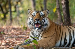 Male Royal Bengal Tiger, Bamera son of B2, portrait