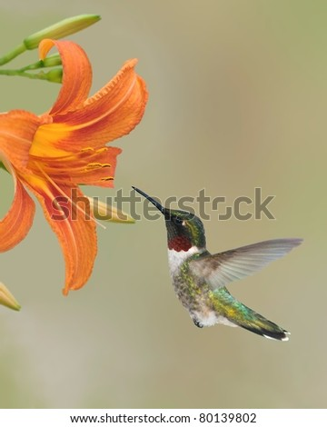 Male Ruby-throated Hummingbird (Archilochus colubris) at an orange daylily.