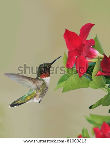 Male Ruby-throated Hummingbird (Archilochus colubris) at mandevilla flowers.