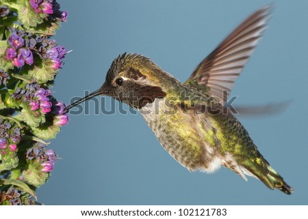Male Ruby-Throated Hummingbird (Archilochus colubris) frozen in mid-air while feeding on flowers. Picture taken near the Golden Gate Bridge, San Francisco, ca.