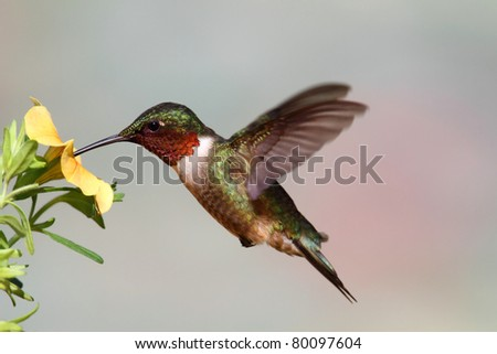 Male Ruby-throated Hummingbird archilochus colubris in flight with a ...