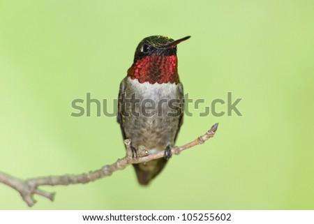 Male Ruby-throated Hummingbird (Archilochus colubris) - Ontario, Canada Ruby-throated Hummingbird (Archilochus colubris) Perched on a Branch - Ontario, Canada