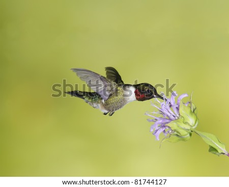 Male Ruby-throated Hummingbird at Flower (Archilochus colubris)