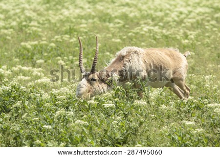 male saiga antelope grazing in the steppe