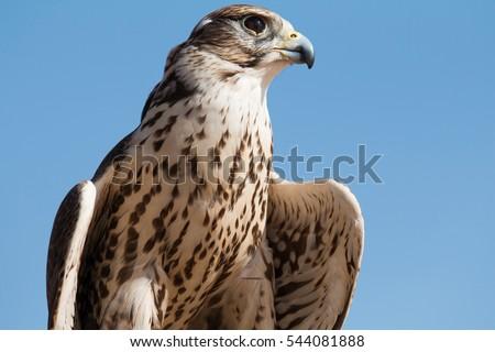 Shutterstock Male saker falcon (Falco cherrug) with his prey after a desert falconry show in Dubai Desert Conservation Centre. Dubai, UAE.