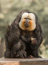 Male Saki Monkey at the Audubon Zoo