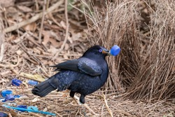 Male Satin Bower Bird displaying at bower