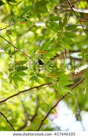 Male Scarlet-backed Flowerpecker( Dicaeum cruentatum) on the branch in nature in Thailand #417646105