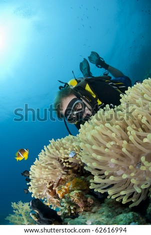 Male scuba diver observing a Magnificent anemone with clownfishes. Ras Ghozlani, Sharm el Sheikh, Red Sea, Egypt.