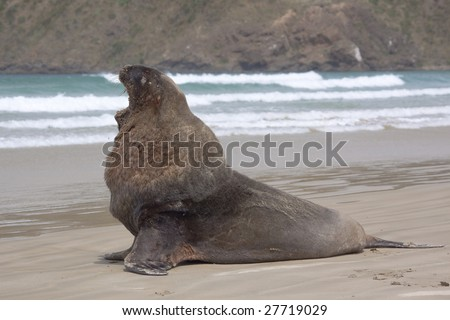 Male sea lion posing with mouth open at Cannibal beach New Zealand